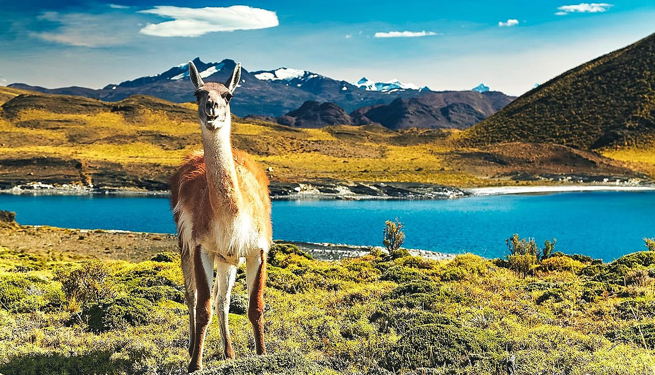 Ein Guanako im Torres del Paine Nationalpark, Chile